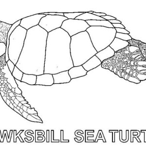 Hawksbill Sea Turtle Free Coloring Sheet Coloring Page