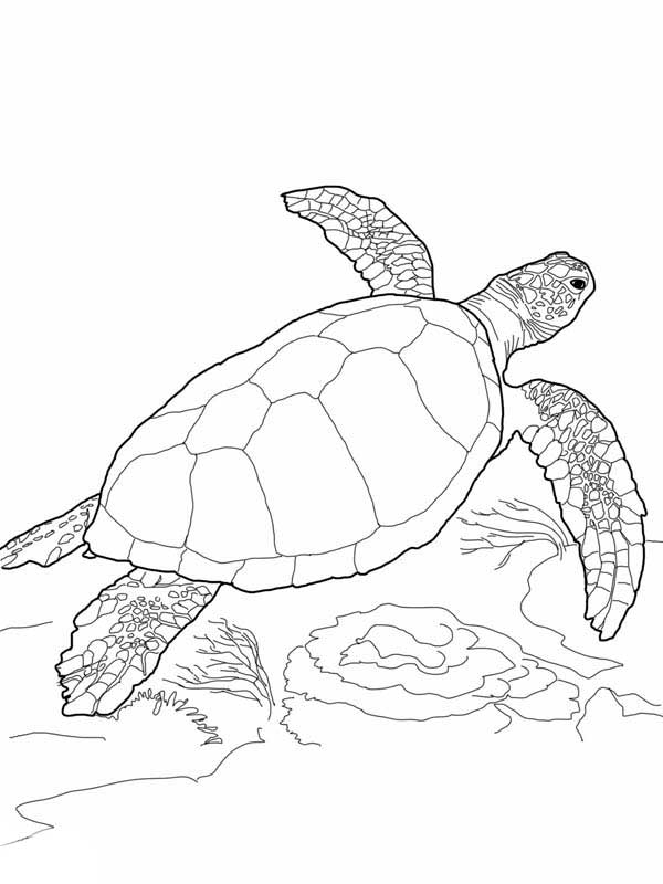 Loggerhead Sea Turtle Free Coloring Page Coloring Book Download