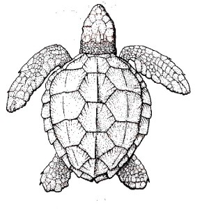 Realistic Sea Turtle Coloring Page