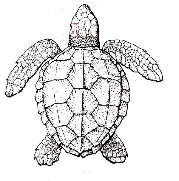 Realistic Sea Turtle Coloring Page Download Print Online