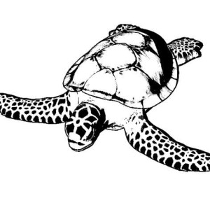 Sea Turtle Conservancy FREE Coloring Sheet Coloring Page