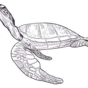 Sea Turtle Leatherback Free Coloring Page