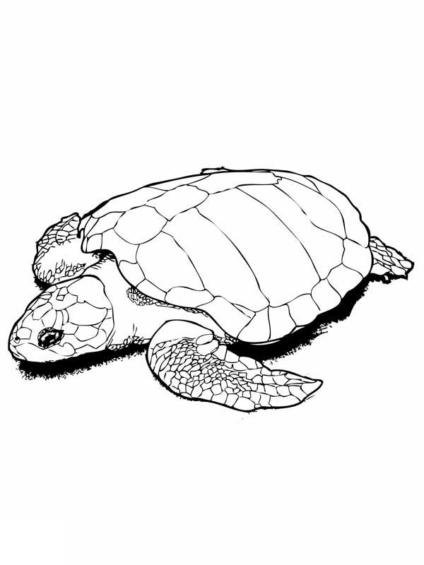 Sea Turtle In Nesting Kemp Free Coloring Page - Download ...