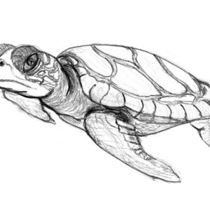 Sea Turtle In Pencil Sketch Free Coloring Page