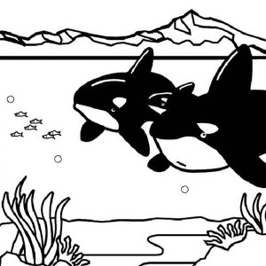Two Killer Whales Orca On Hunting Coloring Page