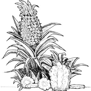 Ananas Comosus The Latin Name For Pineapple Coloring Page