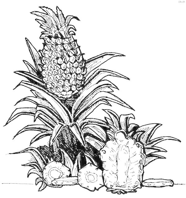 - Ananas Comosus The Latin Name For Pineapple Coloring Page - Download &  Print Online Coloring Pages For Free Color Nimbus