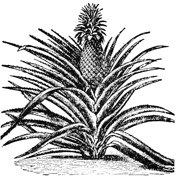Pineapple Plant In Hawaii Coloring