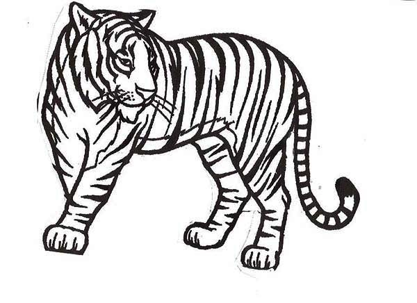 A Healthy Sumatran Tiger In The National Park Coloring