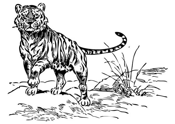 A Looking Wierd Tiger In The Wild Coloring Page Download