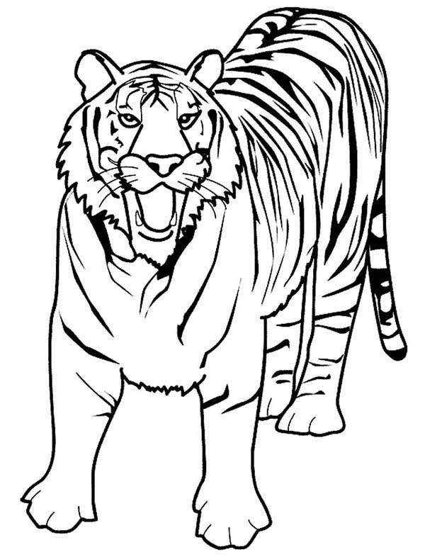 A Loud Roaring Of Bengal Tiger Coloring Page - Download ...