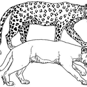A Puma And A Leopard Tiger In The Wild Coloring Page