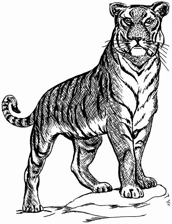 A Tiger On Guard Posture Coloring Page Download Amp Print