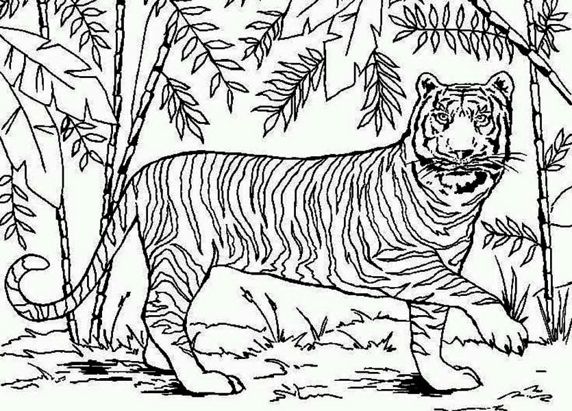 самый амурский тигр фото для раскраски подойди этому вопросу