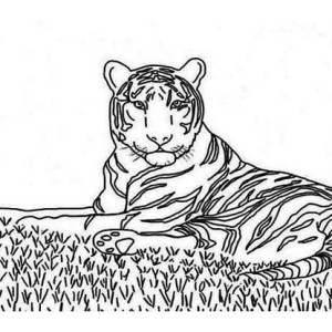 An Illustration Of Siberian Tiger On A Prairie Coloring Page