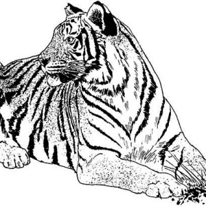 An Illustration Of White Tiger And Its Habitat Coloring Page