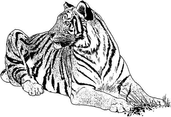 An Illustration Of White Tiger And Its Habitat Coloring