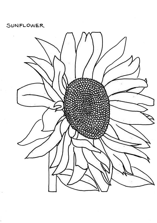 Fading Sunflower Coloring Page Download Print Online