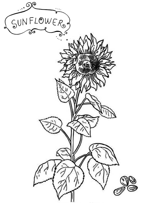 Sunflower Seeds Coloring Page
