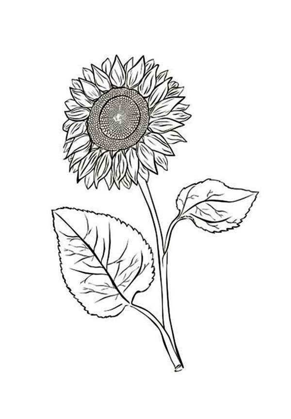 Sunflower With Two Leaves Coloring Page - Download & Print ...