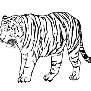 This Tiger Is Looking For A Prey Coloring Page