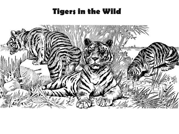 Three Tigers And Its Pact Coloring