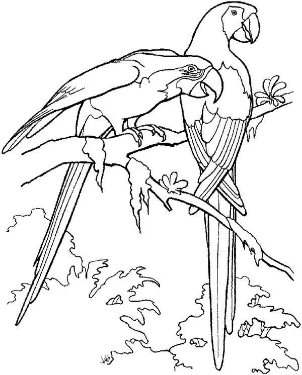 two macau parrot coloring page print