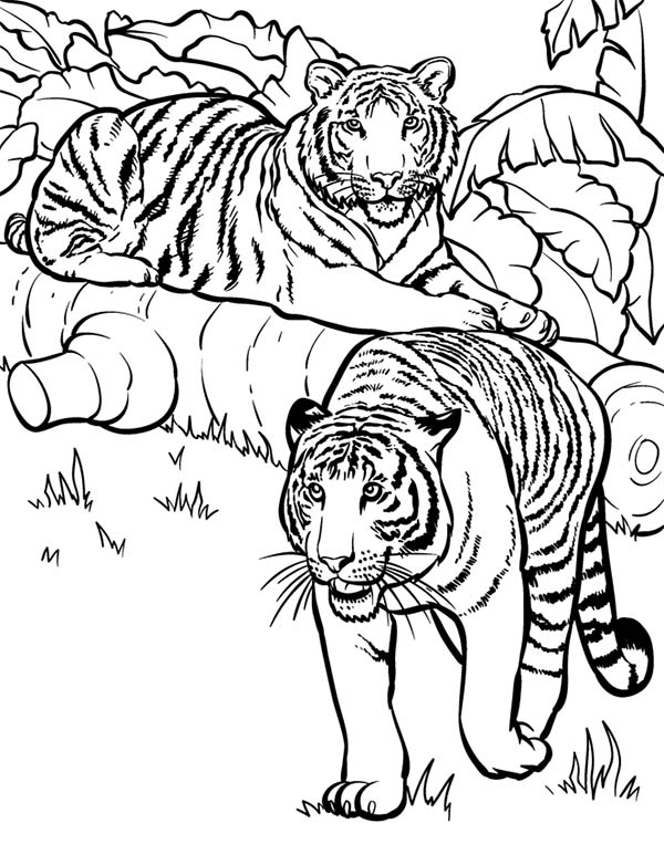 Two Tigers Ready For Hunting Coloring Page Download Print Online Rhcolornimbus: Coloring Pages Dragons Hunter At Baymontmadison.com