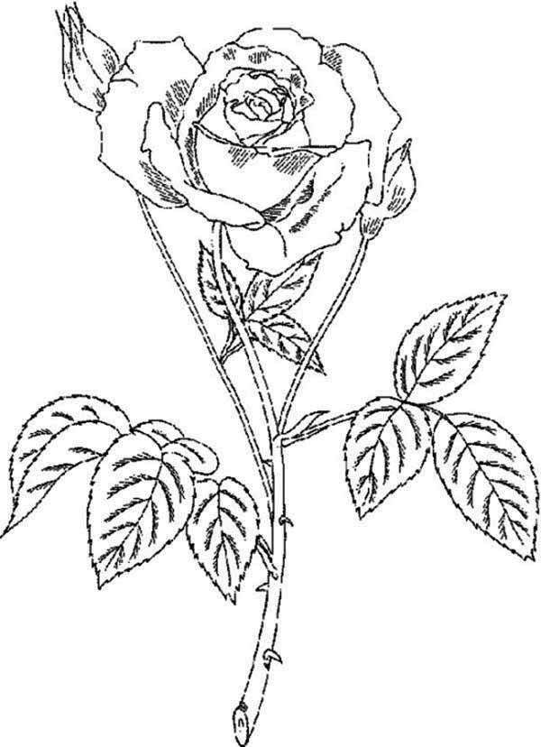 Amazingly Beautiful Rose Coloring Page Download Amp Print