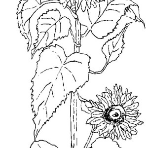 Beautiful Sun Flower Coloring Page