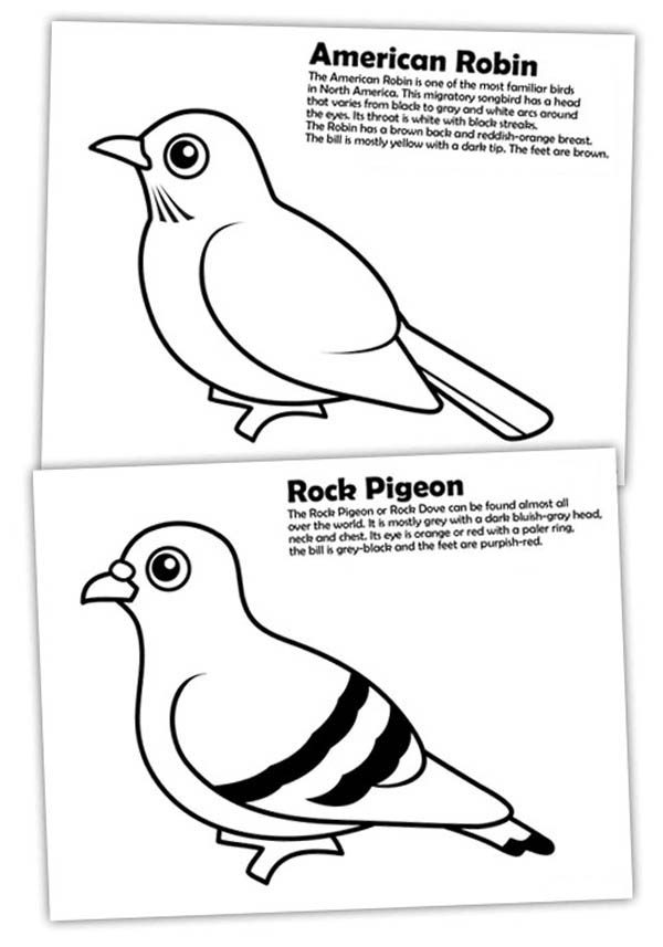 Diffrence Of American Robin And Rock Pigeon Coloring Page Download