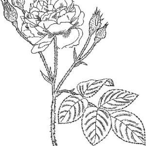 Lovely Rose Coloring Page