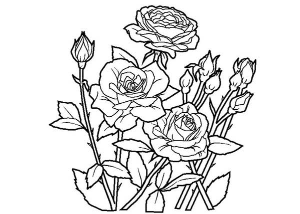 New Fresh Rose Coloring Page Download Amp Print Online