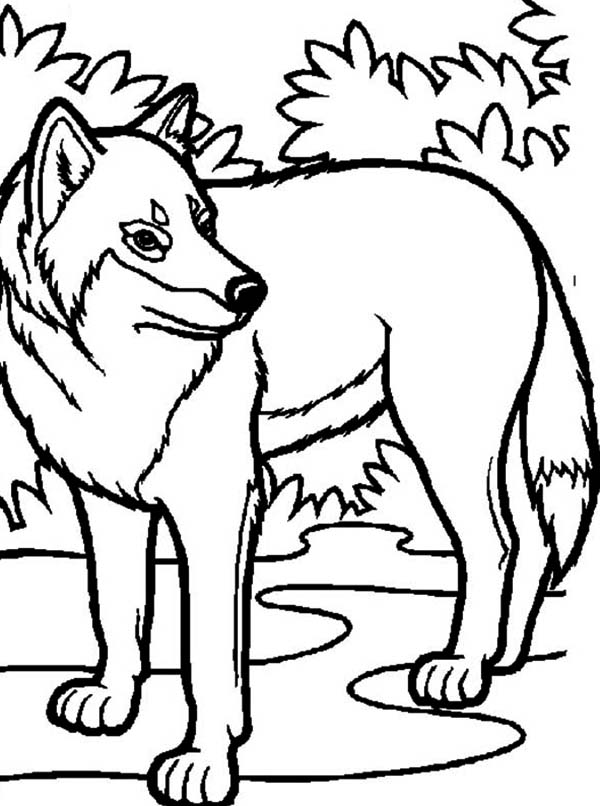 Wolf Hiding Behind Bush Coloring Page Download Amp Print