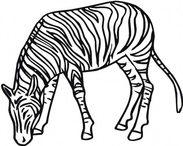 Zebra Eating Grass Coloring Page Download Amp Print Online