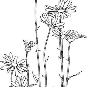 Garden Of Daisy Flower Coloring Page