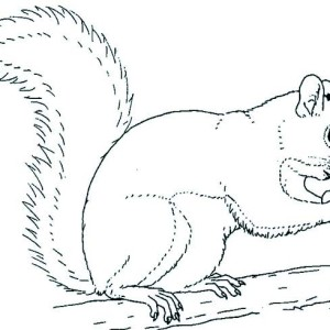 Grey Squirrel Coloring Page