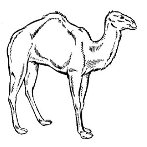 How To Draw A Camel Coloring Page