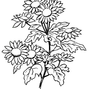 Picture Of Daisy Flower Coloring Page