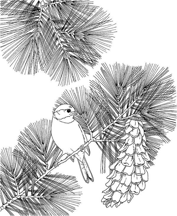Chickadee Sit On Pine Tree Coloring