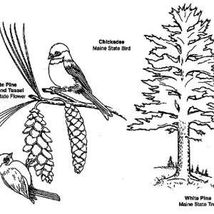 Learn About Chickadee Coloring Page