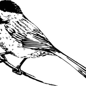 Realistic Drawing Of A Chickadee Coloring Page