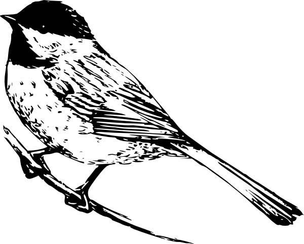 Realistic Drawing Of A Chickadee Coloring Page Download