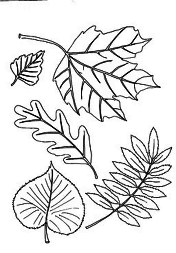 Different Type Of Autumn Leaf Coloring Page Download Print Online Coloring Pages For Free Color Nimbus