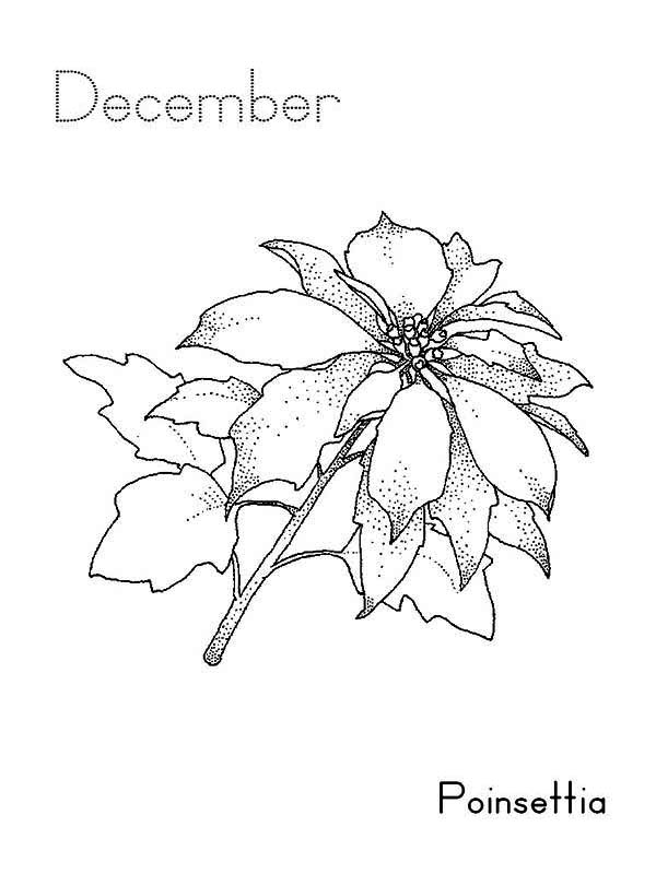 Poinsettia Flower On December Coloring