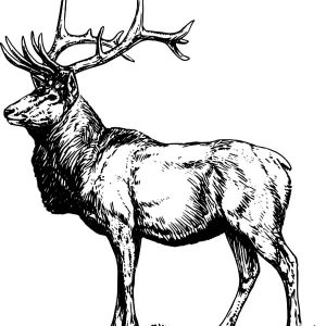 Alpha Male Elk Coloring Pages