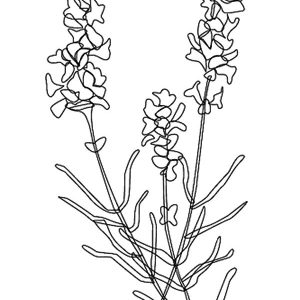 Awesome Lavender Flower Coloring Pages