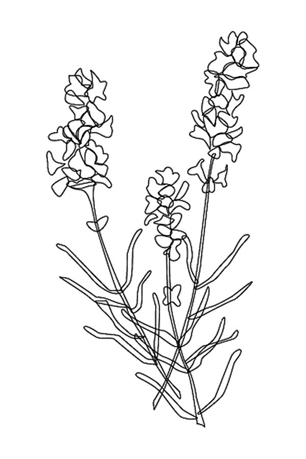 Awesome Lavender Flower Coloring Pages Download Print