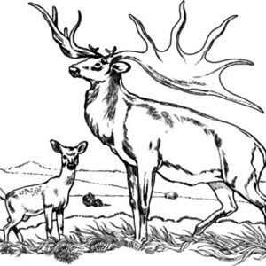 Bull Elk And Baby Elk Coloring Pages