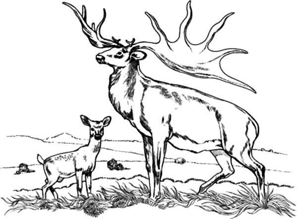 Bull Elk And Baby Coloring Pages